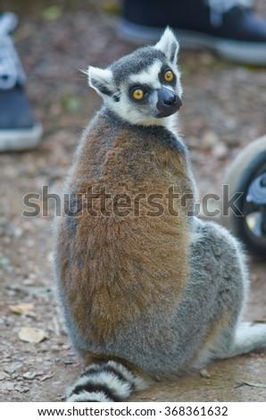 Ring-tailed lemur (Lemur catta) on nature background - stock photo
