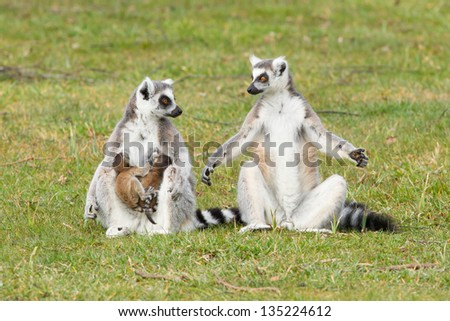 Ring-tailed lemur (Lemur catta) with youngsters on the grass - stock photo