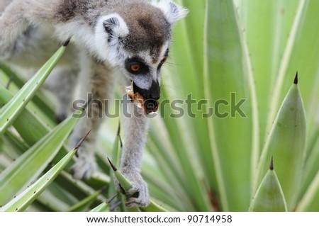 Ring-Tailed Lemur - Madagascar - stock photo