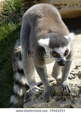 Ring-Tailed Lemur on rock ready to pounce. - stock photo