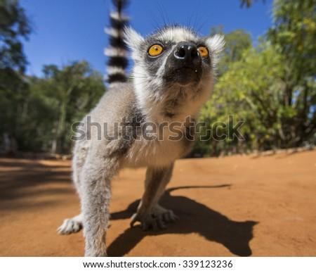 Ring-tailed lemur. Portrait. Close-up. Madagascar. An excellent illustration. - stock photo