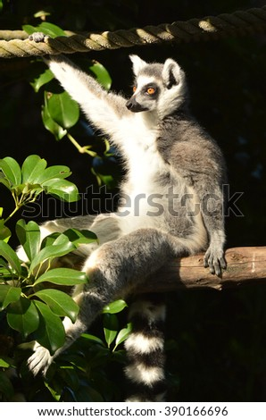 Ring-tailed lemur sit on a tree branch looks away.The ring-tailed lemur is listed as endangered by the IUCN Red List due to habitat destruction, hunting and the exotic pet trade. - stock photo