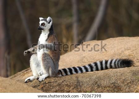 Ring-tailed Lemur sunbathing in the Anja Reserve, Madagascar - stock photo