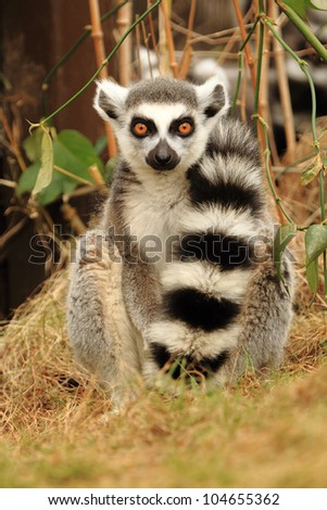 Ring tailed lemur with tail over its shoulder - stock photo