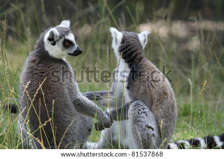 Ring-tailed lemurs - stock photo