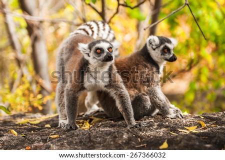 Ring-tailed lemurs in Madagascar - stock photo