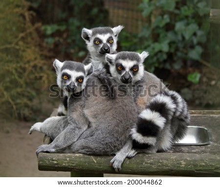 Ring-tailed lemurs (Lemur catta) - stock photo