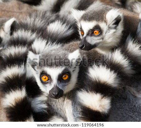 Ring-tailed lemurs (Lemur catta) huddle together on a cold autumn morning to stay warm - stock photo