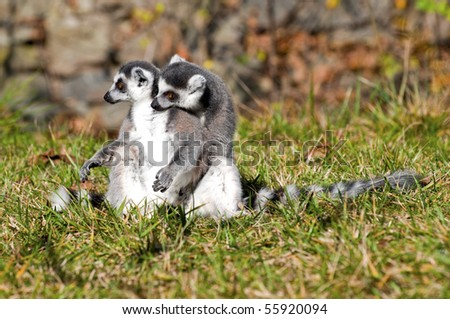 Ring tailed lemurs sitting on grass - stock photo