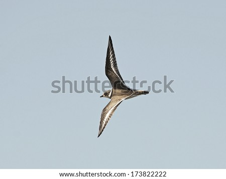 Ringed Plover (Charadrius hiaticula) - stock photo