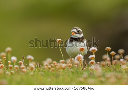 Ringed plover (Charadrius hiaticula) among thrift flowers, Shetland Isles, Scotland. - stock photo
