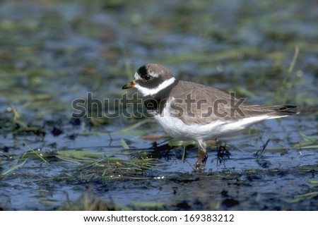Ringed plover, Charadrius hiaticula, single bird in water, Poland  - stock photo