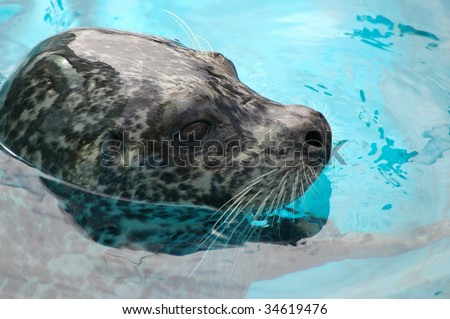 Ringed seal sails in water - stock photo