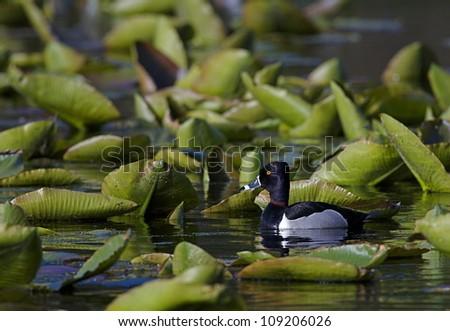 Ringneck Duck drake in lush green Lily Pads; habitat / environmental image - stock photo