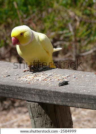 ringneck parrot - stock photo
