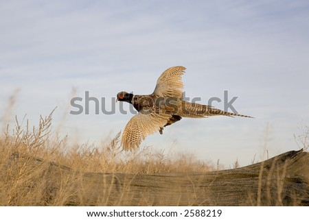 Ringneck Pheasant flying in the field - stock photo