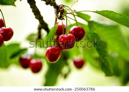 Ripe and juicy sweet Red Cherries on the Tree in Summer - stock photo
