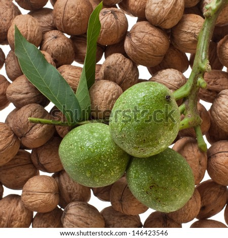 ripe and unripe walnuts twig close up  - stock photo