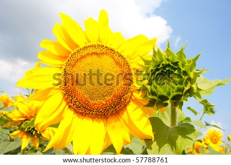 Ripe and young sunflowers on field - stock photo