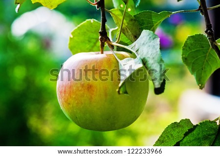 Ripe apple on a branch - stock photo