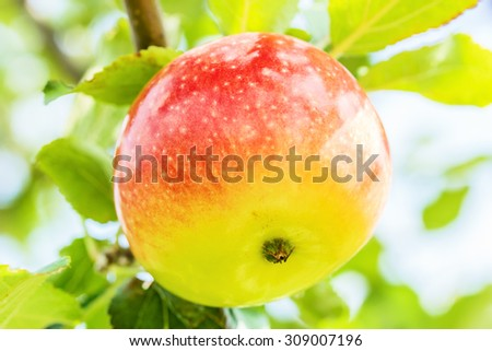 Ripe apple on a branch in the garden on a sunny summer day, macro. Soft focus - stock photo