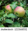 Ripe apples on a branch - stock photo
