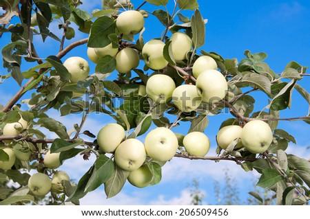 Ripe apples on apple tree branch. Grade white filling - stock photo
