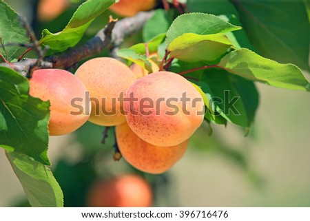 Ripe apricot on a tree branch.Horizontal image.