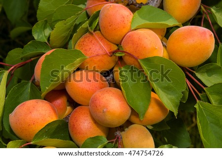 Ripe apricots on a tree branch. Close up.