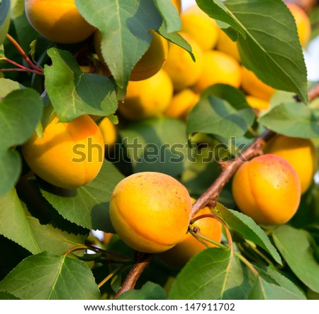 Ripe apricots on tree branch - stock photo