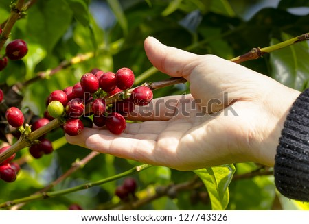 Ripe beans ready for harvest on a coffee tree