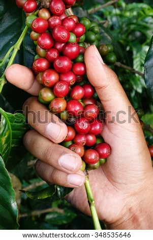 Ripe beans ready for harvest on a coffee tree - stock photo