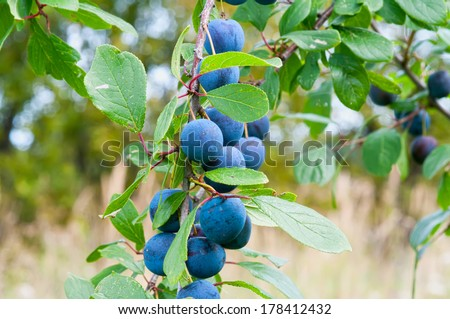 Ripe berries of a sloe on branches. - stock photo