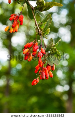 Ripe berries of barberry on the branch closeup - stock photo