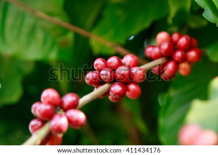 Ripe berries on coffee tree in farm. Food and drink coffee  - stock photo