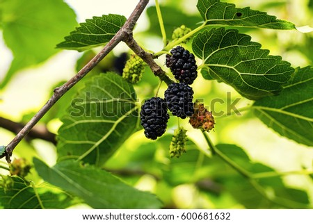Ripe black berry hanging on Morus tree branch (mulberry) close up macro