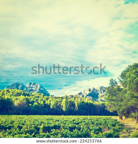 Ripe Black Grapes in the Autumn in the French Provence - stock photo