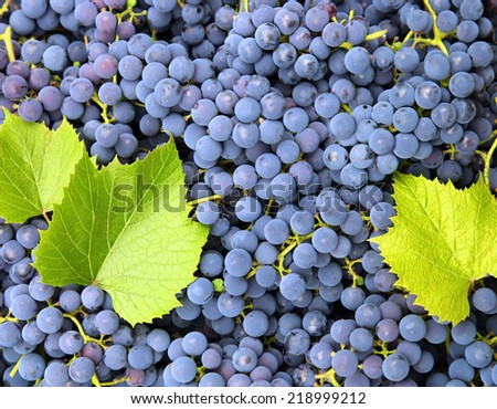 ripe blue grapes freshness background - stock photo