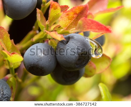 Ripe blueberries, Vaccinium myrtillus with waterdrop