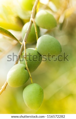 ripe bunch of green olives - stock photo