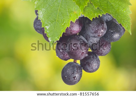 Ripe cabernet grapes ready for harvest in the farm - stock photo