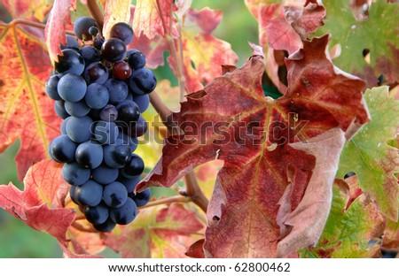ripe cabernet sauvignon grapes on vine in autumn - stock photo