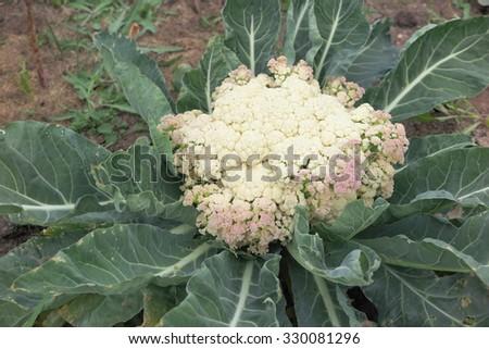 Ripe cauliflower (Brassica oleracea) in the autumn garden - stock photo