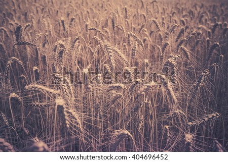 Ripe Cereal field. Shot with a selective focus - stock photo