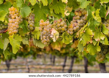 ripe chardonnay grapes in vineyard - stock photo