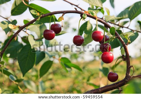Ripe cherries hanging on a cherry-tree branch. - stock photo