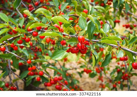 Ripe cherries on a branch in orchard - stock photo