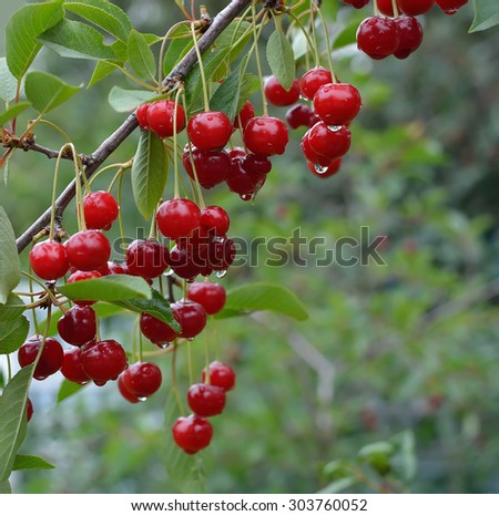 Ripe cherries on a tree branch with water drops on them after summer rain - stock photo