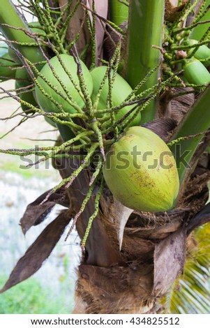 Ripe coconut produce on the tree - stock photo
