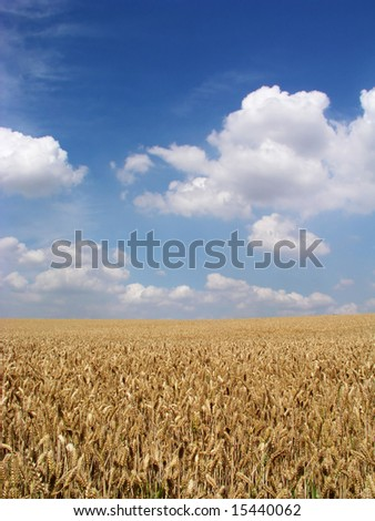 ripe corn field in the summer sun